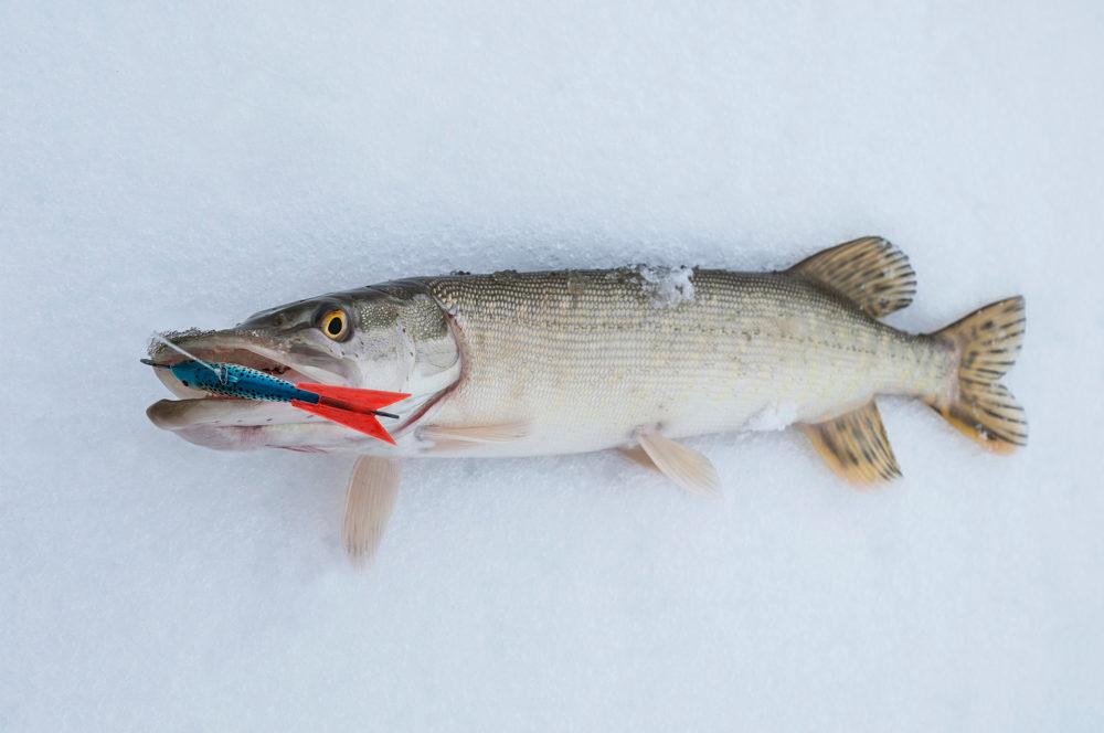 Рыбалка на окуня щуку зимой