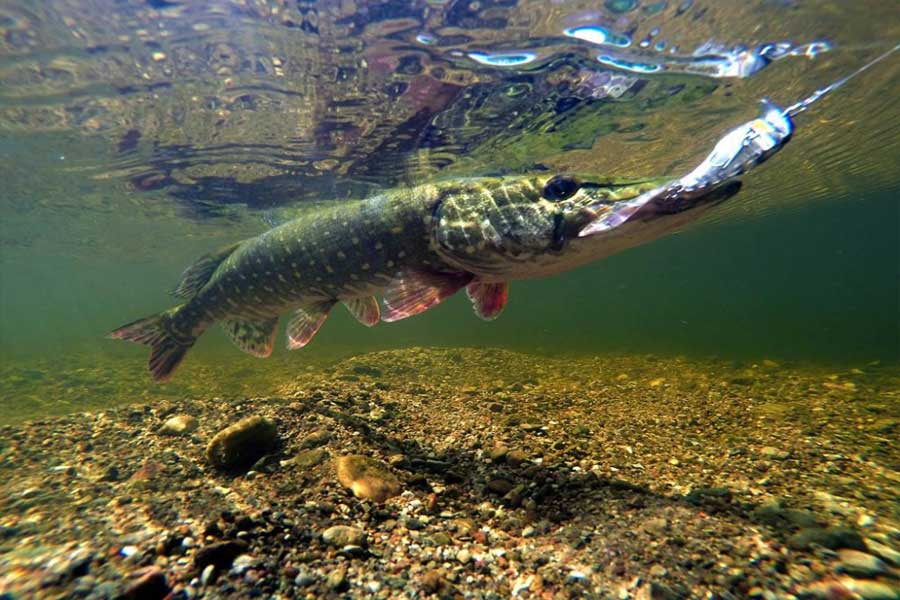 Ловля щуки спиннингом на малых реках