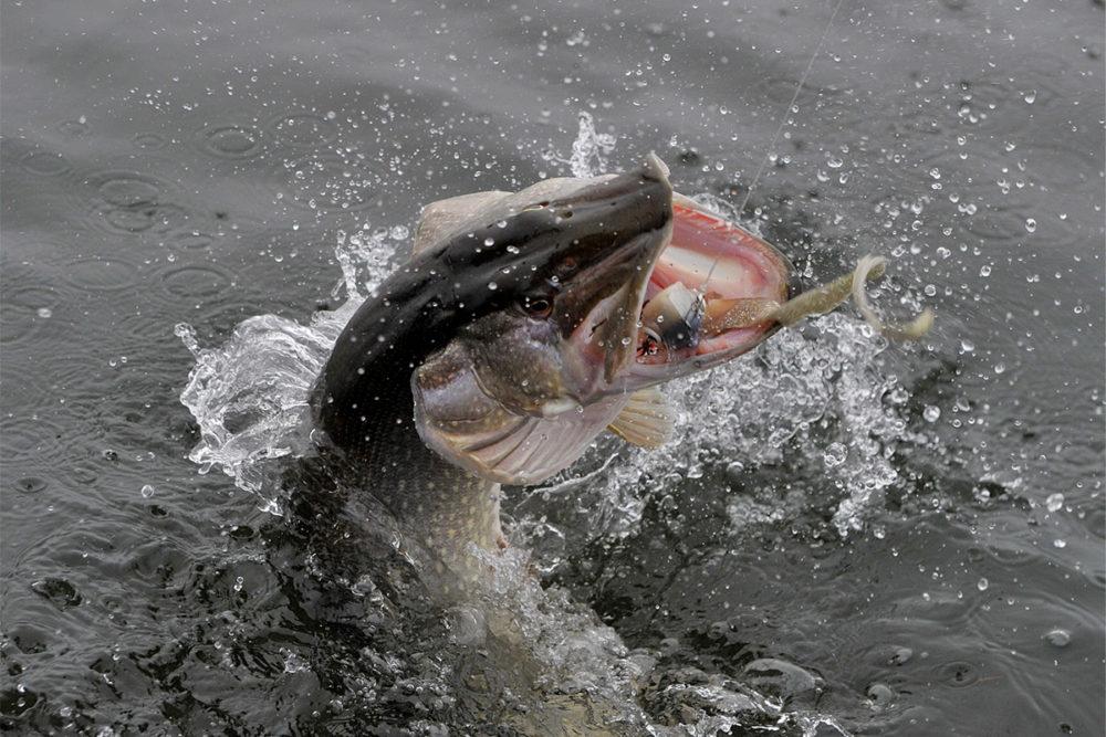 Ловля на виброхвост - читайте на Сatcher.fish