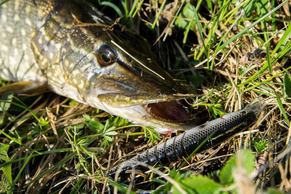 Ловля щуки в траве на спиннинг. Щука-травянка: размеры, вес, отличия от донной, на что ловить